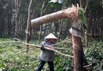 Kon Tum khuyến cáo người dân không tự ý phá bỏ cây cao su