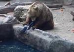Gấu cứu quạ sắp chết đuối