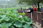 Ngắm sen nở ở Nhật Bản