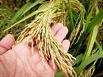 Việt Nam giành giải thưởng về tạo giống lúa