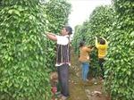 Gia Lai phát triển cây trồng có thế mạnh