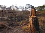 Rừng thông phòng hộ Krông Búk (Đắk Lắk) cơ bản bị 'xoá sổ'