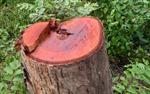 Đau xót, tan hoang rừng sinh thái Bản Đôn