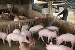 Phát triển chuỗi liên kết trong chăn nuôi