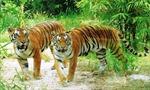 Vườn Quốc gia Pù Mát bàn giao hai con hổ quý hiếm