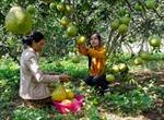 Dân trồng bưởi lao đao do dịch ruồi đục trái