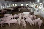 Nghệ An: Bảo vệ đàn gia súc trước nguy cơ của dịch bệnh