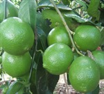 Thu nhập đều nhờ trồng chanh không hạt
