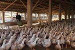 Phát hiện chủng cúm gia cầm H5N3 tại Đài Loan