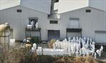 Nhật Bản tiêu huỷ hàng chục nghìn gia cầm nhiễm cúm