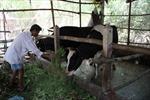 Nuôi bò sữa để thoát nghèo