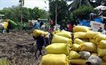 Xây dựng vùng nguyên liệu gạo - Cần nhưng khó