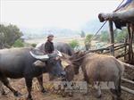 Bắt quả tang cơ sở bơm nước vào gia súc trước khi mổ