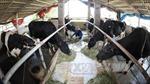 Nuôi bò sữa lãi gần 1 tỷ đồng/năm