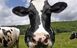 Sữa 'ngập lụt' châu Âu sau khi EU xóa hạn ngạch?