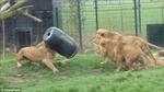 Sư tử tham ăn, kẹt đầu trong thùng