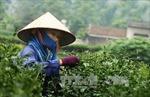 Quảng bá 'Chè Thái Nguyên' tại Mỹ, Trung Quốc và Đài Loan
