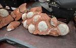 Phát hiện ổ 43 quả trứng khủng long trên công trường xây dựng