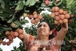 Australia cho nhập khẩu vải thiều từ Việt Nam