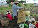 Tìm thị trường ổn định cho khoai lang