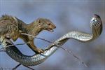 Cái chết của con rắn có độc