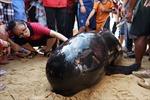 Hàng trăm người dân nỗ lực cứu cá heo ở Bình Định
