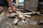 Cá chết trên sông Mã là do mưa lũ cuốn nhiều phù sa