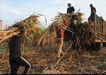 Hài hòa lợi ích giữa nông dân và nhà máy đường