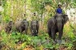 Khẩn cấp bảo tồn voi rừng Yok Don