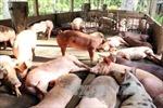 Lợn rớt giá, người nuôi nguy cơ mất Tết