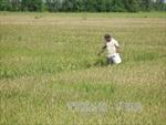 Cẩn trọng khi mở rộng diện tích trồng lúa nếp ở đồng bằng sông Cửu Long