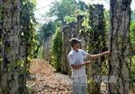 Nông dân điêu đứng vì cây tiêu chết hàng loạt