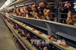 Kế hoạch giám sát an toàn thực phẩm đối với thịt gà chế biến xuất khẩu