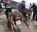 Nhiều gia súc bị chết do rét đậm, rét hại ở Lào Cai