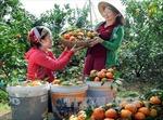 """Cam Tân Mộc và câu chuyện của người phụ nữ dám """"phá bỏ cây trồng truyền thống"""""""