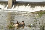 Xác lợn trên sông Phó Đáy là từ thượng nguồn trôi dạt về