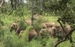 Xuất hiện đàn voi mới tại khu rừng thuộc địa bàn Đồng Nai