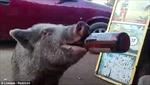 Kỳ lạ chú lợn tu sạch 3 chai bia trong vòng 'một nốt nhạc'