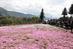 Shibazakura – Thảm hoa mùa Xuân