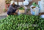 Giá bơ Đắk Lắk tăng cao, người trồng phấn khởi