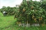 Nhãn là cây chủ lực của huyện Châu Thành (Đồng Tháp)