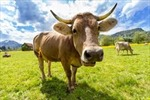 Bò có thể cứu loài người khỏi HIV/AIDS