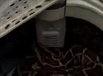 Người phụ nữ phát hoảng với con trăn hàng chục kg xuất hiện trong máy giặt