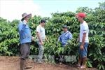 Gia Lai tái canh hơn 2.800 ha cà phê
