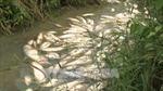 Quảng Ngãi: Cá chết hàng loạt chưa rõ nguyên nhân