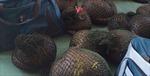 Hưng Yên bắt giữ vụ vận chuyển trái phép hơn 500kg tê tê
