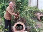 Đắk Lắk khôi phục diện tích hồ tiêu bị ảnh hưởng do mưa bão