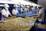 Ngành điều xây dựng vùng nguyên liệu 1 triệu tấn ở Campuchia