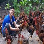 Chỉ chăn nuôi gà, chàng thanh niên dân tộc Dao thu tiền tỷ mỗi năm