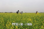 Cánh đồng hoa cải tại Thanh Hóa thu hút đông du khách